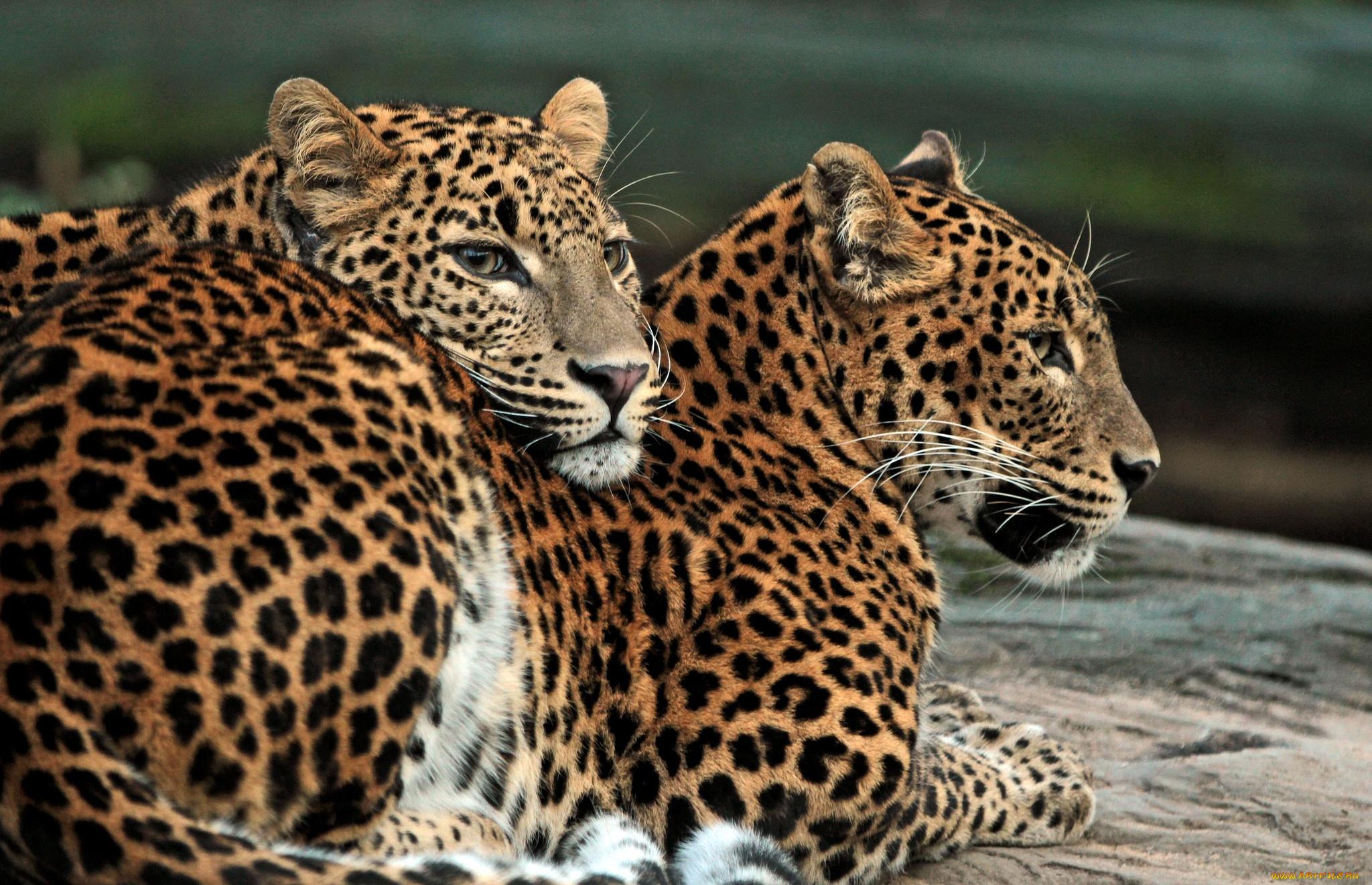 красивая ванная фото красивые леопарды и львы поговорка, что все